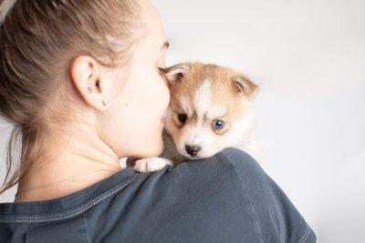 puppy224 week5 BowTiePomsky.com Bowtie Pomsky Puppy For Sale Husky Pomeranian Mini Dog Spokane WA Breeder Blue Eyes Pomskies Celebrity Puppy web8