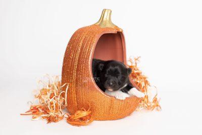 puppy225 week1 BowTiePomsky.com Bowtie Pomsky Puppy For Sale Husky Pomeranian Mini Dog Spokane WA Breeder Blue Eyes Pomskies Celebrity Puppy web8