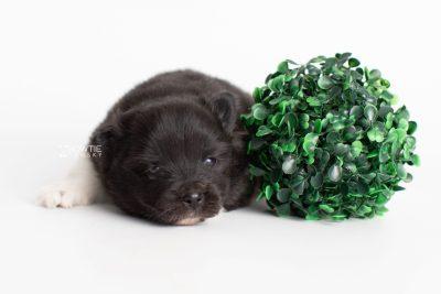 puppy225 week3 BowTiePomsky.com Bowtie Pomsky Puppy For Sale Husky Pomeranian Mini Dog Spokane WA Breeder Blue Eyes Pomskies Celebrity Puppy web7