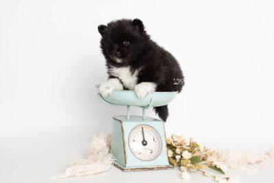 puppy225 week5 BowTiePomsky.com Bowtie Pomsky Puppy For Sale Husky Pomeranian Mini Dog Spokane WA Breeder Blue Eyes Pomskies Celebrity Puppy web1