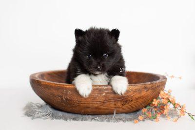 puppy225 week5 BowTiePomsky.com Bowtie Pomsky Puppy For Sale Husky Pomeranian Mini Dog Spokane WA Breeder Blue Eyes Pomskies Celebrity Puppy web2