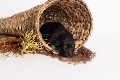 puppy226 week1 BowTiePomsky.com Bowtie Pomsky Puppy For Sale Husky Pomeranian Mini Dog Spokane WA Breeder Blue Eyes Pomskies Celebrity Puppy web1