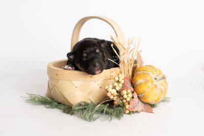 puppy226 week1 BowTiePomsky.com Bowtie Pomsky Puppy For Sale Husky Pomeranian Mini Dog Spokane WA Breeder Blue Eyes Pomskies Celebrity Puppy web2