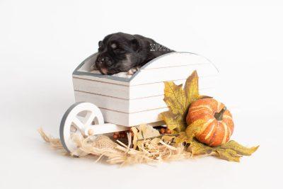 puppy226 week1 BowTiePomsky.com Bowtie Pomsky Puppy For Sale Husky Pomeranian Mini Dog Spokane WA Breeder Blue Eyes Pomskies Celebrity Puppy web3