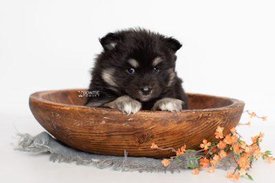puppy226 week5 BowTiePomsky.com Bowtie Pomsky Puppy For Sale Husky Pomeranian Mini Dog Spokane WA Breeder Blue Eyes Pomskies Celebrity Puppy web2