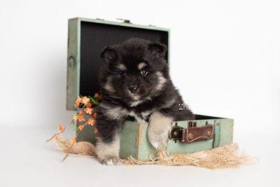 puppy226 week5 BowTiePomsky.com Bowtie Pomsky Puppy For Sale Husky Pomeranian Mini Dog Spokane WA Breeder Blue Eyes Pomskies Celebrity Puppy web3