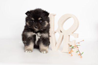 puppy226 week5 BowTiePomsky.com Bowtie Pomsky Puppy For Sale Husky Pomeranian Mini Dog Spokane WA Breeder Blue Eyes Pomskies Celebrity Puppy web4
