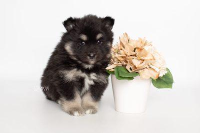 puppy226 week5 BowTiePomsky.com Bowtie Pomsky Puppy For Sale Husky Pomeranian Mini Dog Spokane WA Breeder Blue Eyes Pomskies Celebrity Puppy web5