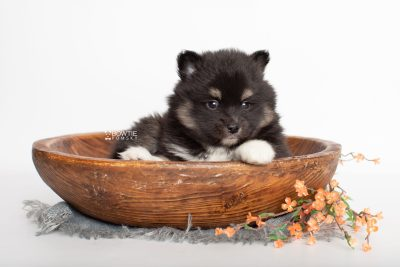 puppy227 week5 BowTiePomsky.com Bowtie Pomsky Puppy For Sale Husky Pomeranian Mini Dog Spokane WA Breeder Blue Eyes Pomskies Celebrity Puppy web2