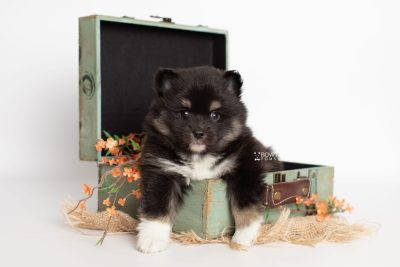 puppy227 week5 BowTiePomsky.com Bowtie Pomsky Puppy For Sale Husky Pomeranian Mini Dog Spokane WA Breeder Blue Eyes Pomskies Celebrity Puppy web3