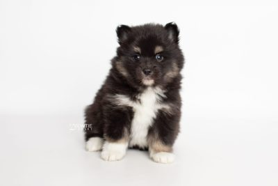 puppy227 week5 BowTiePomsky.com Bowtie Pomsky Puppy For Sale Husky Pomeranian Mini Dog Spokane WA Breeder Blue Eyes Pomskies Celebrity Puppy web6