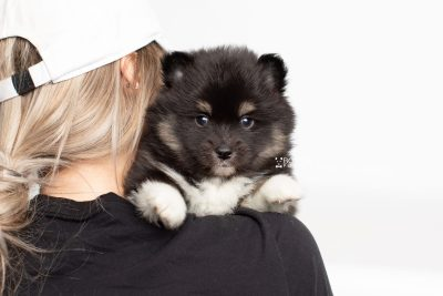 puppy227 week5 BowTiePomsky.com Bowtie Pomsky Puppy For Sale Husky Pomeranian Mini Dog Spokane WA Breeder Blue Eyes Pomskies Celebrity Puppy web7