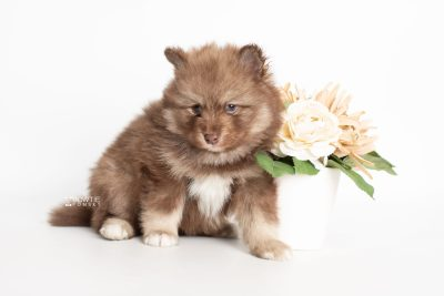 puppy229 week5 BowTiePomsky.com Bowtie Pomsky Puppy For Sale Husky Pomeranian Mini Dog Spokane WA Breeder Blue Eyes Pomskies Celebrity Puppy web5