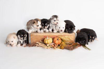 puppy230-238 week3 BowTiePomsky.com Bowtie Pomsky Puppy For Sale Husky Pomeranian Mini Dog Spokane WA Breeder Blue Eyes Pomskies Celebrity Puppy web
