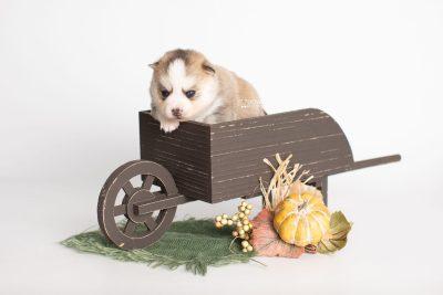 puppy230 week3 BowTiePomsky.com Bowtie Pomsky Puppy For Sale Husky Pomeranian Mini Dog Spokane WA Breeder Blue Eyes Pomskies Celebrity Puppy web1