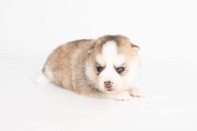 puppy230 week3 BowTiePomsky.com Bowtie Pomsky Puppy For Sale Husky Pomeranian Mini Dog Spokane WA Breeder Blue Eyes Pomskies Celebrity Puppy web8