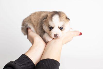 puppy230 week3 BowTiePomsky.com Bowtie Pomsky Puppy For Sale Husky Pomeranian Mini Dog Spokane WA Breeder Blue Eyes Pomskies Celebrity Puppy web9