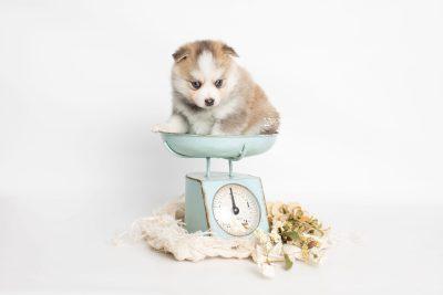 puppy230 week5 BowTiePomsky.com Bowtie Pomsky Puppy For Sale Husky Pomeranian Mini Dog Spokane WA Breeder Blue Eyes Pomskies Celebrity Puppy web1