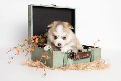 puppy230 week5 BowTiePomsky.com Bowtie Pomsky Puppy For Sale Husky Pomeranian Mini Dog Spokane WA Breeder Blue Eyes Pomskies Celebrity Puppy web3