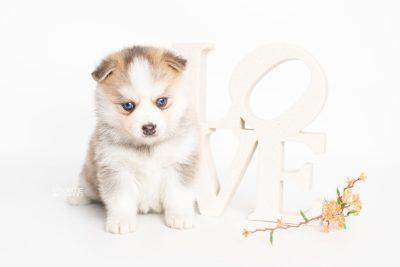 puppy230 week5 BowTiePomsky.com Bowtie Pomsky Puppy For Sale Husky Pomeranian Mini Dog Spokane WA Breeder Blue Eyes Pomskies Celebrity Puppy web5
