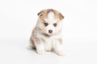 puppy230 week5 BowTiePomsky.com Bowtie Pomsky Puppy For Sale Husky Pomeranian Mini Dog Spokane WA Breeder Blue Eyes Pomskies Celebrity Puppy web6