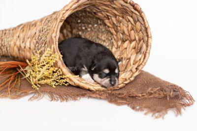 puppy231 week1 BowTiePomsky.com Bowtie Pomsky Puppy For Sale Husky Pomeranian Mini Dog Spokane WA Breeder Blue Eyes Pomskies Celebrity Puppy web1
