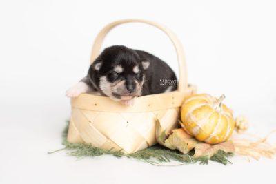 puppy231 week1 BowTiePomsky.com Bowtie Pomsky Puppy For Sale Husky Pomeranian Mini Dog Spokane WA Breeder Blue Eyes Pomskies Celebrity Puppy web2
