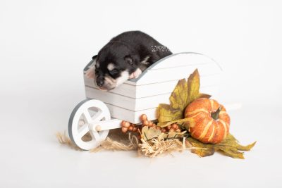 puppy231 week1 BowTiePomsky.com Bowtie Pomsky Puppy For Sale Husky Pomeranian Mini Dog Spokane WA Breeder Blue Eyes Pomskies Celebrity Puppy web3