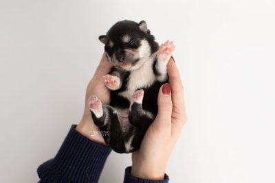 puppy231 week1 BowTiePomsky.com Bowtie Pomsky Puppy For Sale Husky Pomeranian Mini Dog Spokane WA Breeder Blue Eyes Pomskies Celebrity Puppy web6