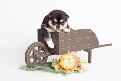puppy231 week3 BowTiePomsky.com Bowtie Pomsky Puppy For Sale Husky Pomeranian Mini Dog Spokane WA Breeder Blue Eyes Pomskies Celebrity Puppy web1