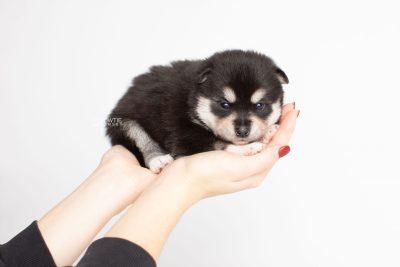 puppy231 week3 BowTiePomsky.com Bowtie Pomsky Puppy For Sale Husky Pomeranian Mini Dog Spokane WA Breeder Blue Eyes Pomskies Celebrity Puppy web7