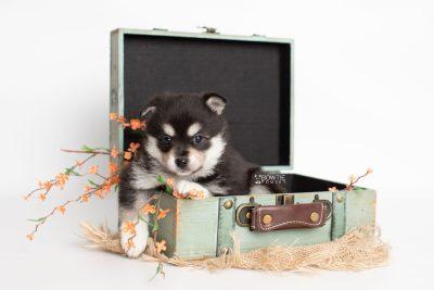 puppy231 week5 BowTiePomsky.com Bowtie Pomsky Puppy For Sale Husky Pomeranian Mini Dog Spokane WA Breeder Blue Eyes Pomskies Celebrity Puppy web3