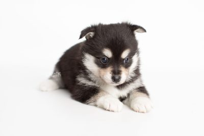 puppy231 week5 BowTiePomsky.com Bowtie Pomsky Puppy For Sale Husky Pomeranian Mini Dog Spokane WA Breeder Blue Eyes Pomskies Celebrity Puppy web6