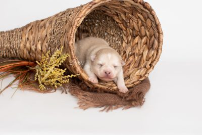 puppy232 week1 BowTiePomsky.com Bowtie Pomsky Puppy For Sale Husky Pomeranian Mini Dog Spokane WA Breeder Blue Eyes Pomskies Celebrity Puppy web1