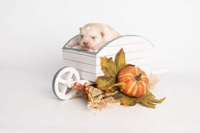 puppy232 week1 BowTiePomsky.com Bowtie Pomsky Puppy For Sale Husky Pomeranian Mini Dog Spokane WA Breeder Blue Eyes Pomskies Celebrity Puppy web2