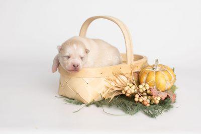 puppy232 week1 BowTiePomsky.com Bowtie Pomsky Puppy For Sale Husky Pomeranian Mini Dog Spokane WA Breeder Blue Eyes Pomskies Celebrity Puppy web3