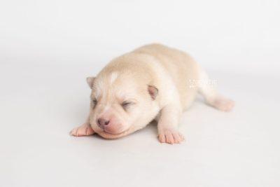 puppy232 week1 BowTiePomsky.com Bowtie Pomsky Puppy For Sale Husky Pomeranian Mini Dog Spokane WA Breeder Blue Eyes Pomskies Celebrity Puppy web4