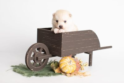 puppy232 week3 BowTiePomsky.com Bowtie Pomsky Puppy For Sale Husky Pomeranian Mini Dog Spokane WA Breeder Blue Eyes Pomskies Celebrity Puppy web1