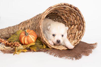 puppy232 week3 BowTiePomsky.com Bowtie Pomsky Puppy For Sale Husky Pomeranian Mini Dog Spokane WA Breeder Blue Eyes Pomskies Celebrity Puppy web2