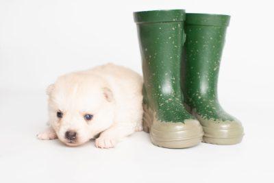 puppy232 week3 BowTiePomsky.com Bowtie Pomsky Puppy For Sale Husky Pomeranian Mini Dog Spokane WA Breeder Blue Eyes Pomskies Celebrity Puppy web5