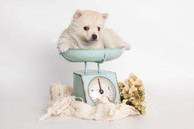 puppy232 week5 BowTiePomsky.com Bowtie Pomsky Puppy For Sale Husky Pomeranian Mini Dog Spokane WA Breeder Blue Eyes Pomskies Celebrity Puppy web1