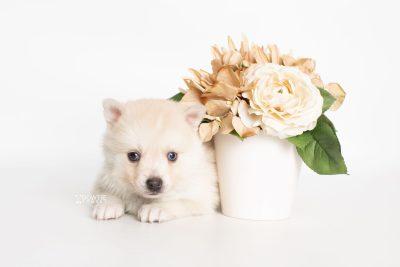 puppy232 week5 BowTiePomsky.com Bowtie Pomsky Puppy For Sale Husky Pomeranian Mini Dog Spokane WA Breeder Blue Eyes Pomskies Celebrity Puppy web5