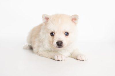 puppy232 week5 BowTiePomsky.com Bowtie Pomsky Puppy For Sale Husky Pomeranian Mini Dog Spokane WA Breeder Blue Eyes Pomskies Celebrity Puppy web6
