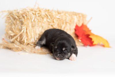 puppy234 week1 BowTiePomsky.com Bowtie Pomsky Puppy For Sale Husky Pomeranian Mini Dog Spokane WA Breeder Blue Eyes Pomskies Celebrity Puppy web7