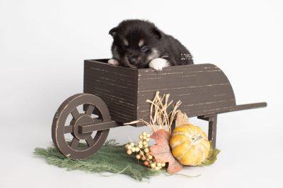 puppy234 week3 BowTiePomsky.com Bowtie Pomsky Puppy For Sale Husky Pomeranian Mini Dog Spokane WA Breeder Blue Eyes Pomskies Celebrity Puppy web1