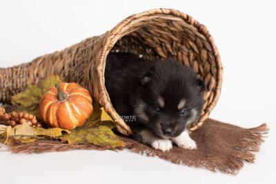 puppy234 week3 BowTiePomsky.com Bowtie Pomsky Puppy For Sale Husky Pomeranian Mini Dog Spokane WA Breeder Blue Eyes Pomskies Celebrity Puppy web3