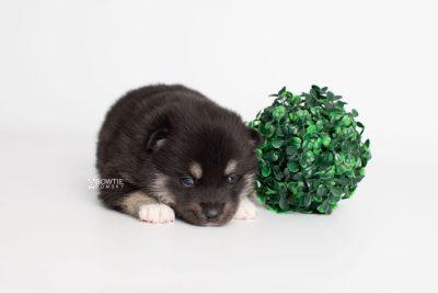 puppy234 week3 BowTiePomsky.com Bowtie Pomsky Puppy For Sale Husky Pomeranian Mini Dog Spokane WA Breeder Blue Eyes Pomskies Celebrity Puppy web5
