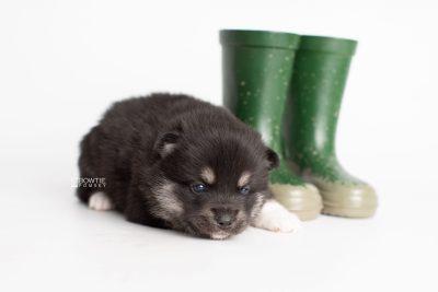 puppy234 week3 BowTiePomsky.com Bowtie Pomsky Puppy For Sale Husky Pomeranian Mini Dog Spokane WA Breeder Blue Eyes Pomskies Celebrity Puppy web7