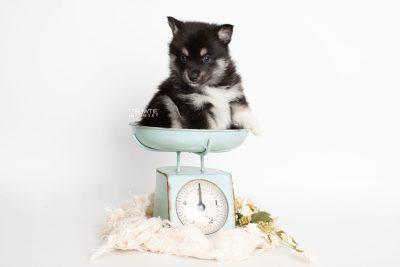 puppy234 week5 BowTiePomsky.com Bowtie Pomsky Puppy For Sale Husky Pomeranian Mini Dog Spokane WA Breeder Blue Eyes Pomskies Celebrity Puppy web1