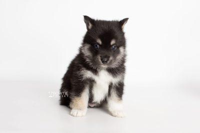 puppy234 week5 BowTiePomsky.com Bowtie Pomsky Puppy For Sale Husky Pomeranian Mini Dog Spokane WA Breeder Blue Eyes Pomskies Celebrity Puppy web6